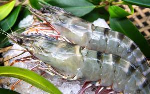 MInh Phu black tiger shrimp