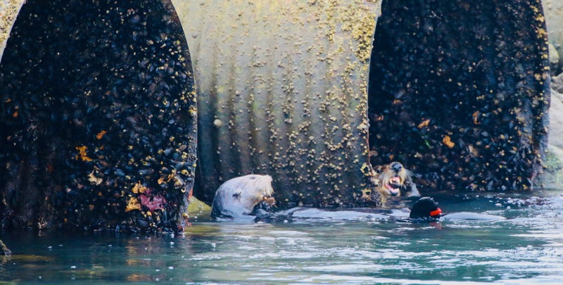 Using archaeology to uncover sea otters' historicalhabitats