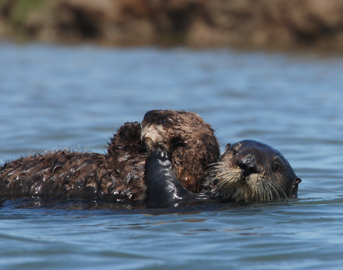 The feel-good science behind sea otter surrogacy