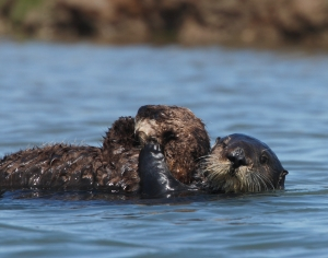 Otter 327 in the wild with her own pup in Elkhorn Slough - credit Monterey Bay Aquarium
