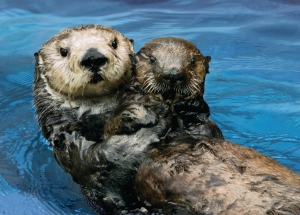 Otter 327 with surrogate mother Toola at Monterey Bay Aquarium