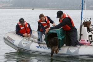 Surrogate-reared otter 451 released into Elkhorn Slough in 2009 by Monterey Bay Aquarium