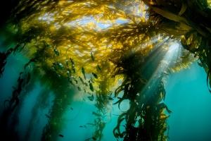 Monterey Bay Aquarium - wild kelp at Monastery Beach - credit Patrick Webster